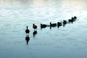 leadership - ducks example
